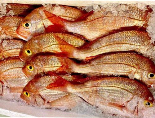 Silva Fish em tempo de pandemia